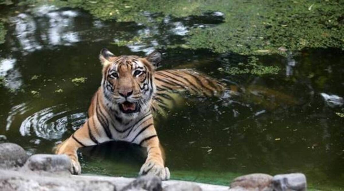 Lions, tigers recovering after Covid infection at Washington's National Zoo